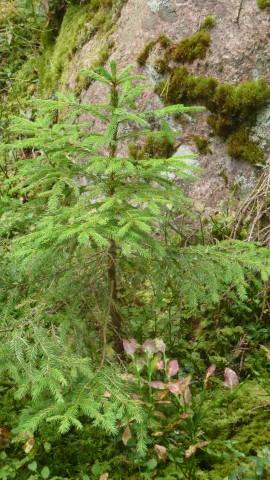 Naturkultur föryngring